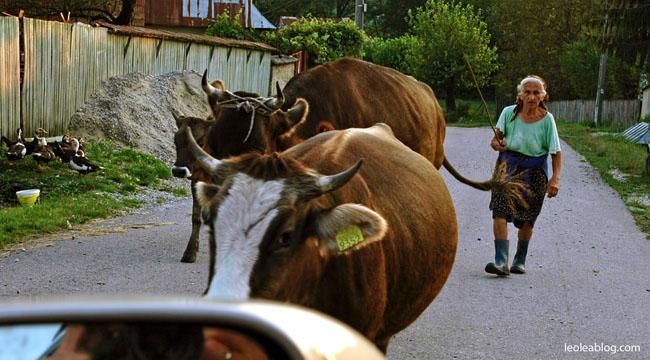 Rumunia Romania Eu Europe Easteurope Journey Travellers wyprawa wyjazd podróżnicy krowanadrodze cow cowontheroad uwagazwierzę