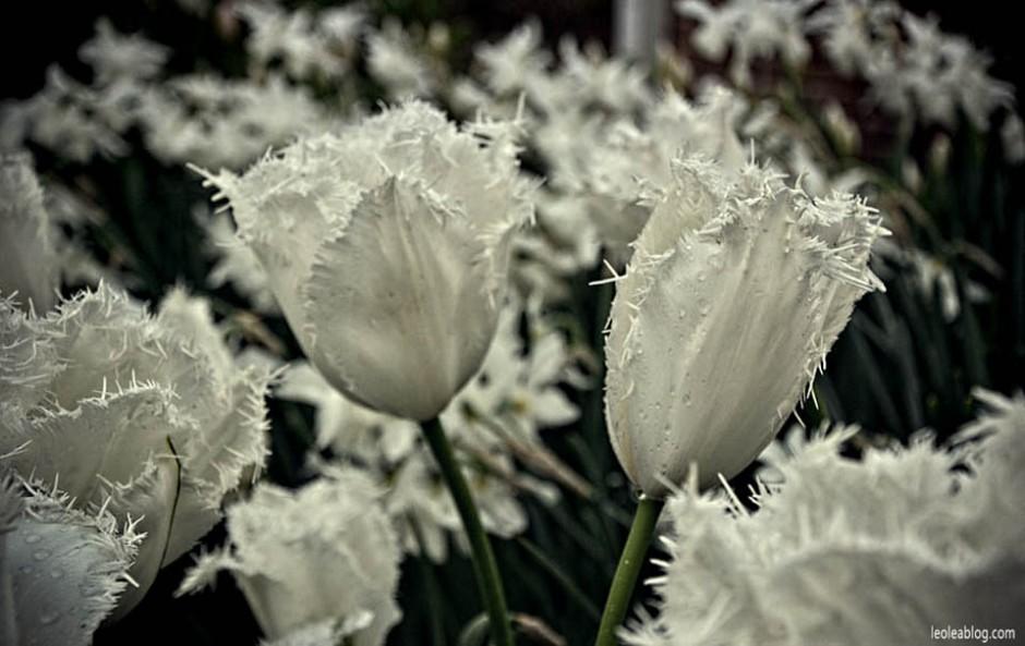 Keukenhof Holland Netherlads ogrod Dutch Flowers Kwiat Holandia Oranje Prideofholland garden tulipany tulipans