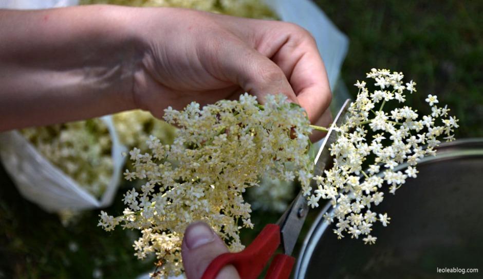 dziki bez syrop przepis kuchnia kwiat bzu